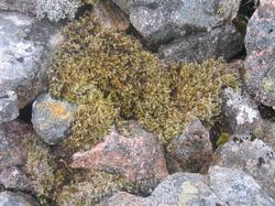 Wooly fringe-moss